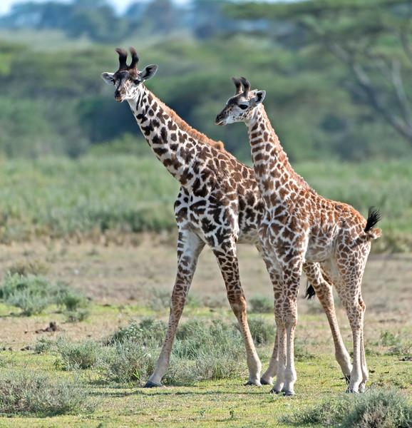 Young Giraffe Friends