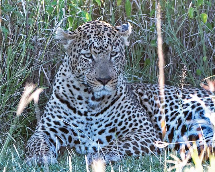 Sleepy Male Leopard