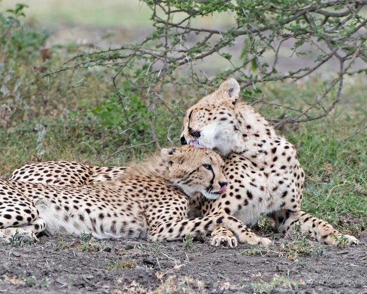 Cheetah Mom and young
