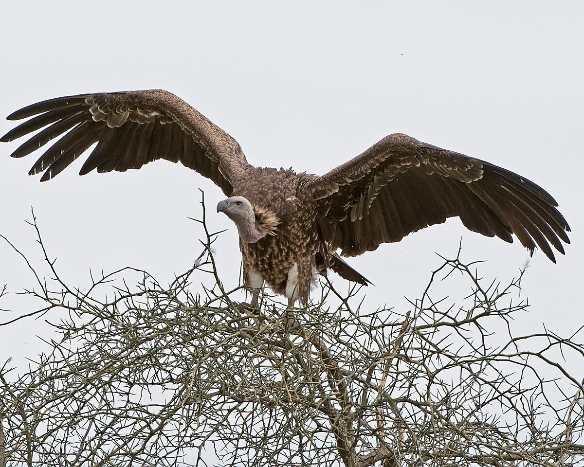 Ruppell's Griffen Vulture