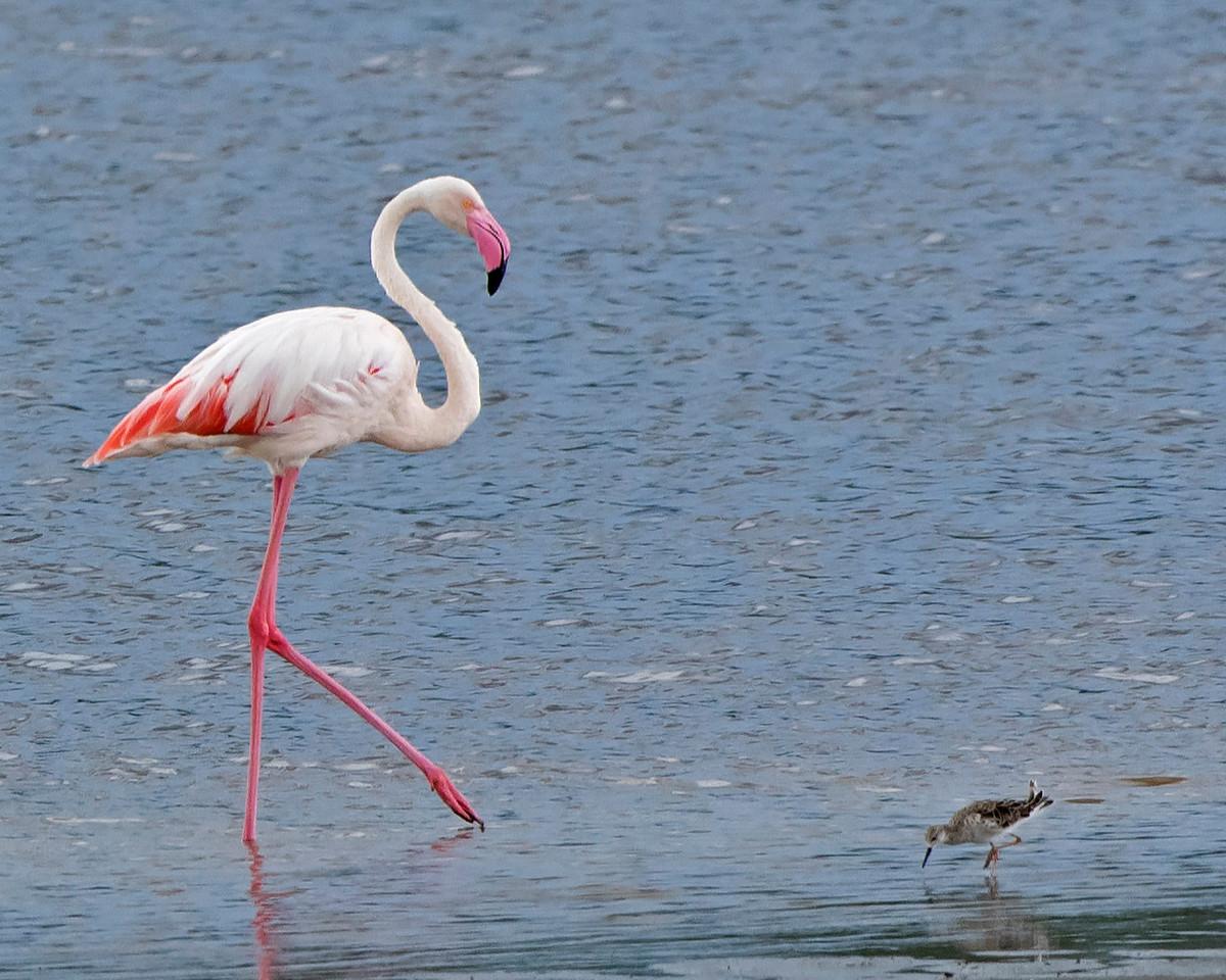 Lesser Flamingo and Ruff Dancing?