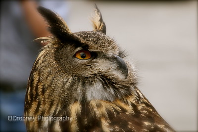 'Big Mama' - the European Eagle Owl.  Her plumage was amazing!