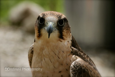 It was a pretty intense feeling to be staring into the eyes of a falcon - what a beautiful bird!