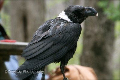 Not the best photo of this African White-Necked Raven, but he didn't hold still for very long!!