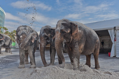 [Filename: elephantwalk-253.jpg]   Copyright 2011 - Michael Blitch Photography