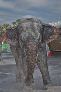 [Filename: elephantwalk-260.jpg]   Copyright 2011 - Michael Blitch Photography