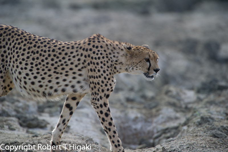 we broke away for the Cheetah then we came back for the lion cubs