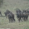 Wildebeest is an antelope of the genus Connochaetes.