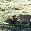The female lion was ready for mating.
