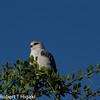 Black-shouldered Kite (Elanus axillaris