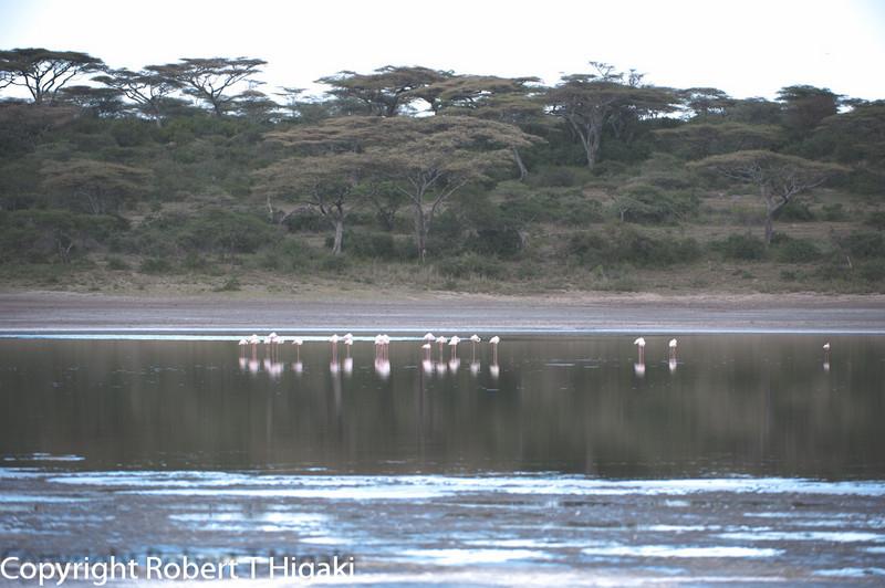 Lesser Flamingoes; (Phoenicopterus minor)