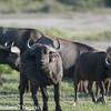 African buffalo, affalo, nyathi or Cape buffalo (Syncerus caffer)
