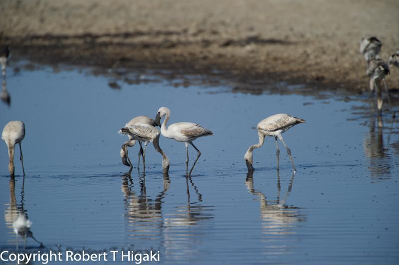 Lesser Flamingoes- Phoenicopterus minor;;