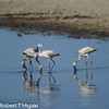 Lesser Flamingoes- Phoenicopterus minor;;