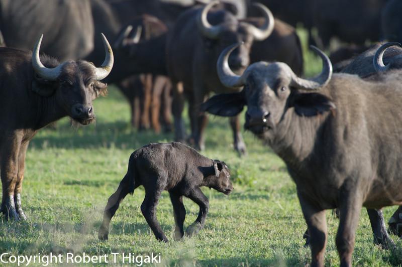 African buffalo, affalo, nyathi or Cape buffalo (Syncerus caffer) <br /> baby