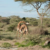 No, they are not doing the Tango. They are fighting by pushing and poking each other with their horns.<br /> giraffe (Giraffa camelopardalis)
