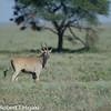 Eland- Taurotragus oryx