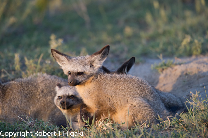 Bat-eared Fox- Otocyon megalotis