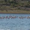 Lesser Flamingoes