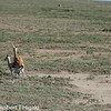 Thomson's Gazelles mating; She made it difficult- she did not stand still but kept on walking so the male had to walk in sync.<br /> Eudorcas thomsonii