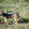 Black-backed Jackal (Canis mesomelas), also known as the Silver-backed or Red Jackal