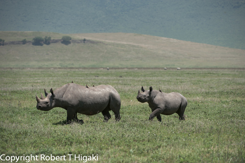 Black Rhinoceros or Hook-lipped Rhinoceros (Diceros bicornis)