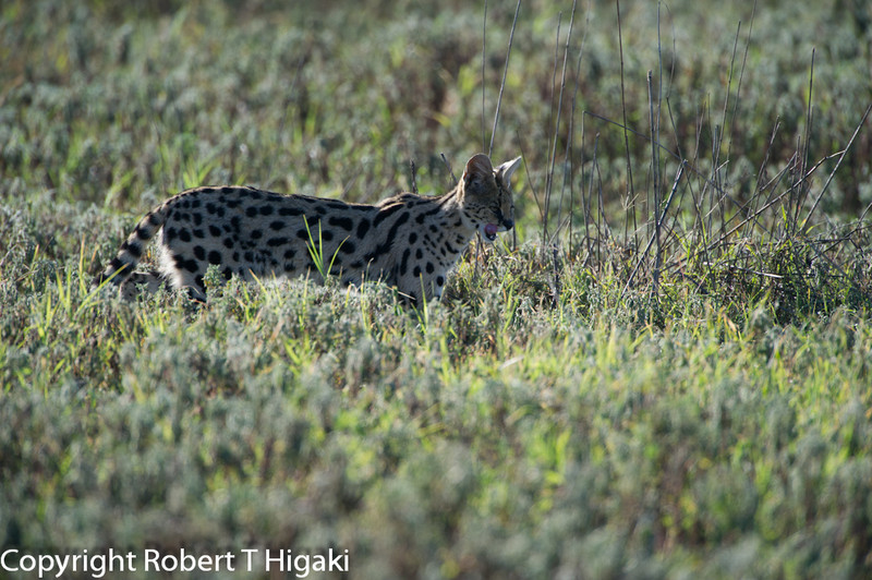 Serval; Leptailurus serval