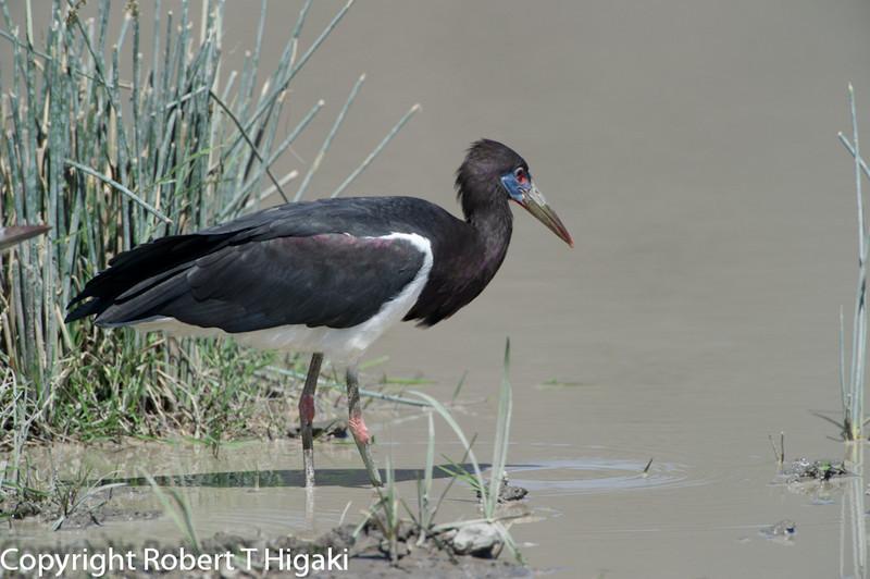 Abdim's Stork, (Ciconia abdimii)