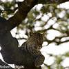 Leopard; Panthera pardus