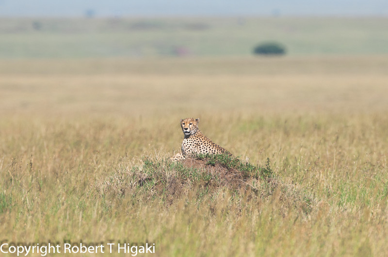 Cheetah- Acinonyx jubutas; <br /> 0 to 70 mph in three seconds; too bad, I did not get to witness these cats run