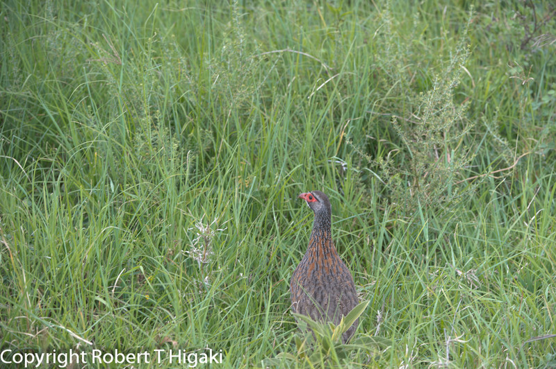 Red necked Francolin (Spurfowl)