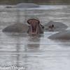 Hippopotamus( Hippopotmus amphibius)