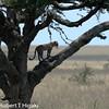 Leopard- Panthera pardus
