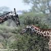 Giraffe ( Giraffa camelopardarlis)