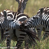 zebras- Equus (       )- many types- I do not know which ones