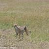 cheetah (Acinonyx jubatus