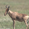 I think this is a Hartebeest???( Alcelaphus buselaphus)