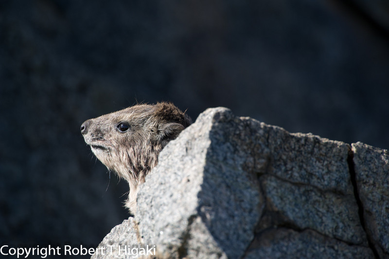 Hyrax- Procavia capensis; these little creatures are the nearest living relative to the elephants. If you stare a little longer, you can see some resemblance- I am kidding- I see no resemblance at all!