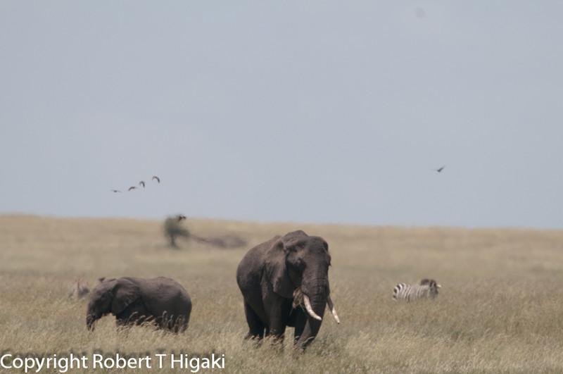 African elephants of the genus Loxodonta.
