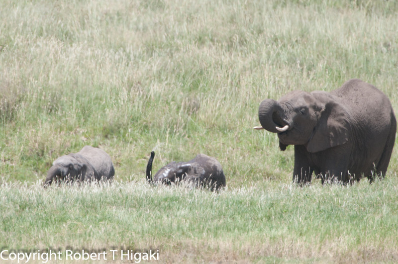 the genus Loxodonta, known collectively as African elephants