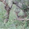 Dik-Dik- Genus   Madoqua<br /> hiding