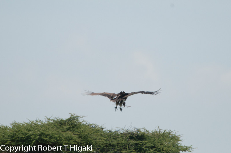 some type of Vulture building a nest.