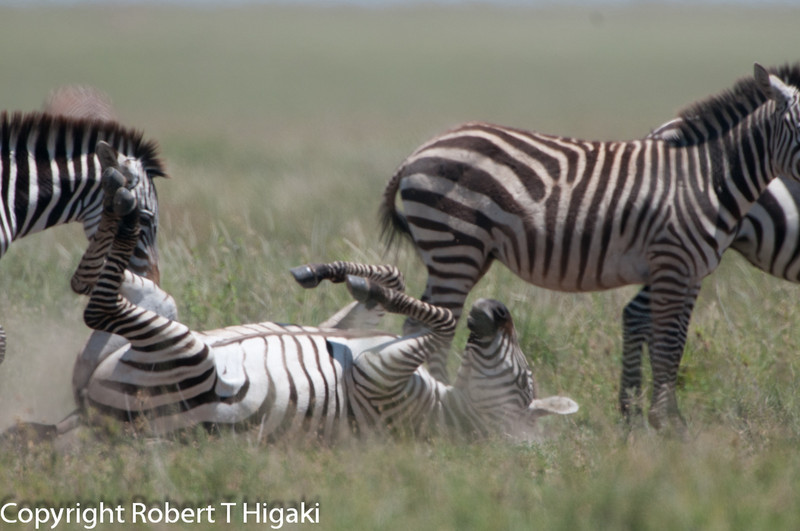 Zebra is scratching his back.