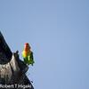 Fisher's Lovebirds( Agapornis fisheri)
