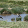 Gray Crowned  Cranes