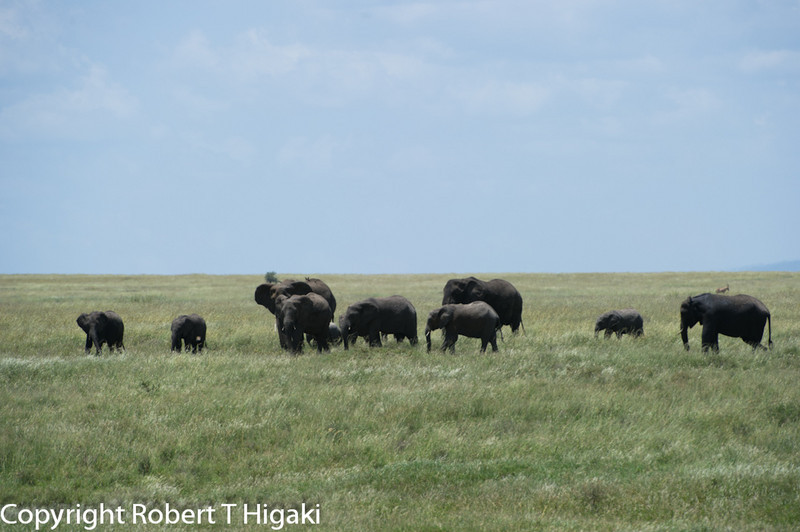 Elephants ( Elephantidae loxodonta)
