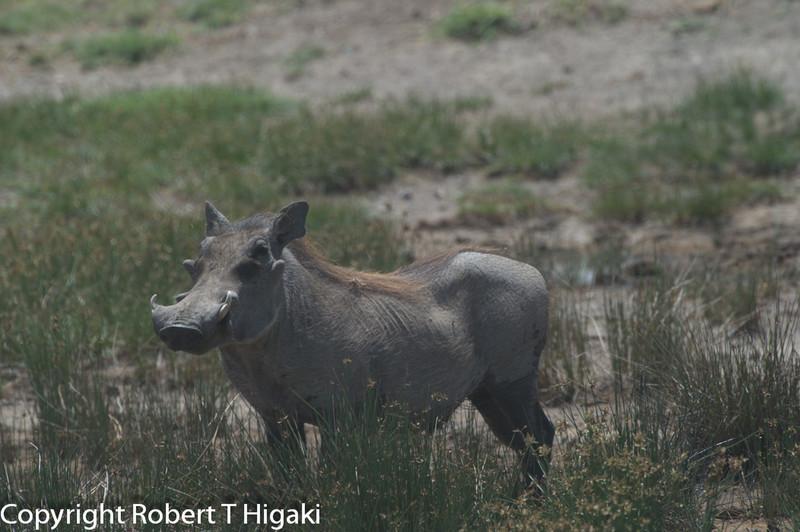 Warthog ( Phacochoerus africanus)
