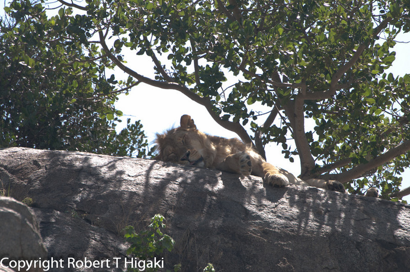lion sleeping on top of one of the kopjes.