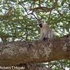 Velvet monkey( Chlorocebus pygerythrus); these monkeys have blue balls(the male ones)