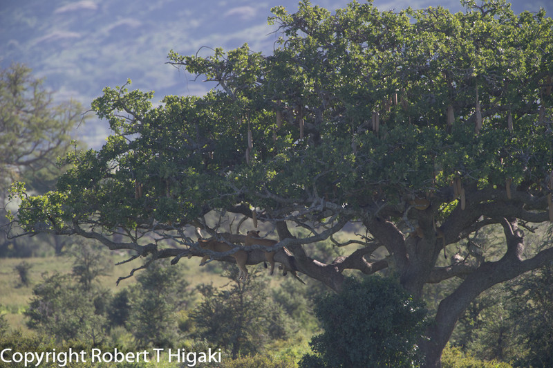 How many lions can you stuff in a Sausage tree???? answer is in the forth frame of this tree. Since we are in the Serengeti, we cannot go off road so I had to shoot from a long distance.